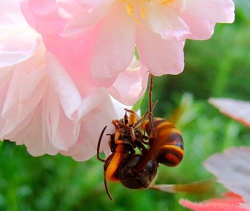 120701 ミツバチを運び去ろうとしているスズメバチ