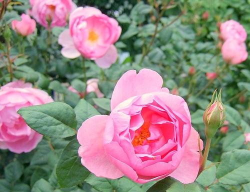 京成バラ園20120523 ERスカイラーク