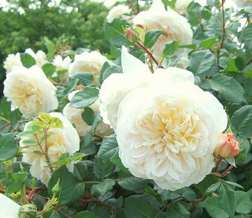 京成バラ園20120523 クロッカスローズ