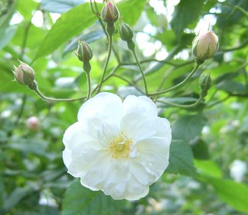 京成バラ園20120523 ERフランシーヌオースチン