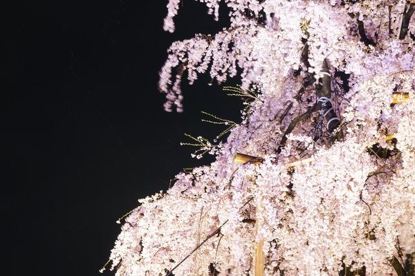 東寺夜桜006