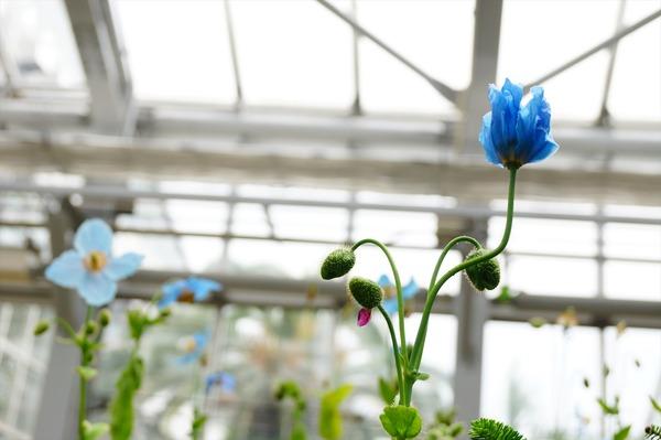 青いケシ3