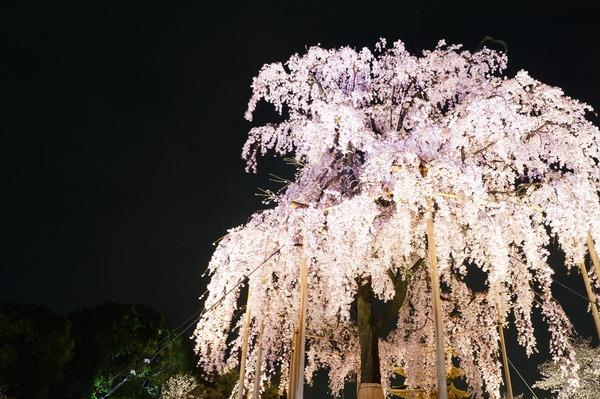 東寺夜桜005