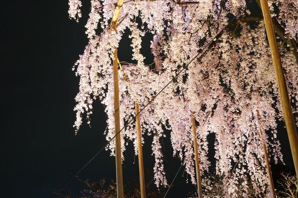 東寺夜桜007