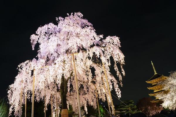 東寺夜桜004