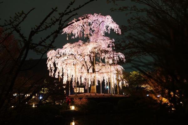 東寺夜桜011
