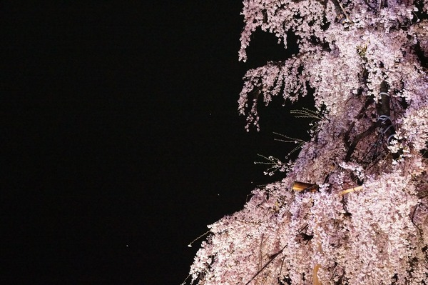 東寺夜桜019