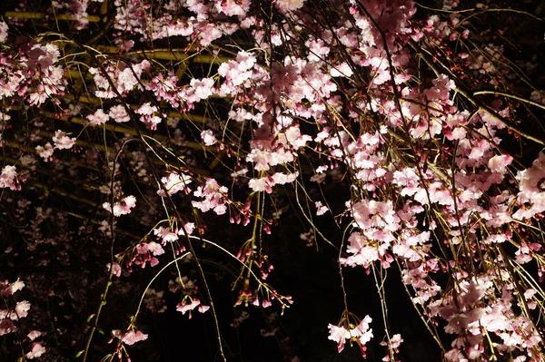 東寺夜桜009
