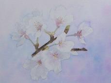 t_t_P1060383 20170127 桜