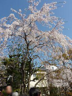 t_P1010436  桜