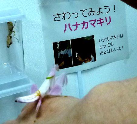 t_P1040449  ハナカマキリ