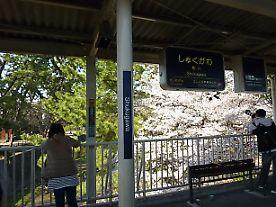 t_P1010515 夙川の桜