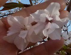 t_P1010497 笹部桜 おしべが花びらに