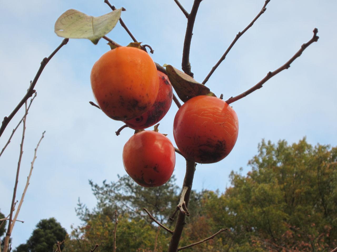 002 伊達地方特産品あんぽ柿は 柿の葉が落葉し黄金色に完熟した蜂屋柿(大型の... あんぽ柿