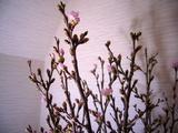 啓翁桜−2−