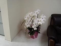胡蝶蘭のプレゼント