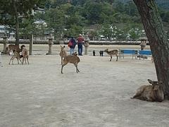 宮島の鹿2