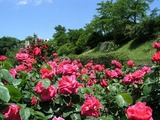 rose_b