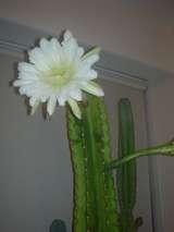 サボテンの花♪♪♪