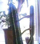 サボテンの芽がまた♪
