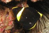 キンチャクダイの幼魚