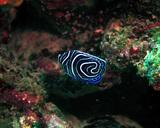 タテキン 幼魚