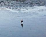 カルガモの氷上ウォーク
