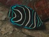 サザナミ 幼魚