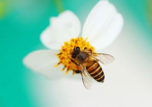 20150301bee_pollen