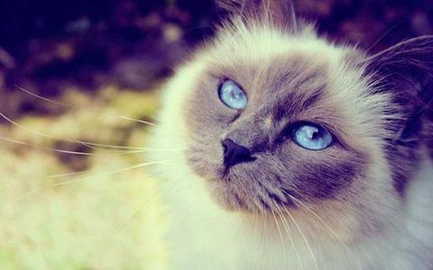 wallpaper-beautiful-cat-02