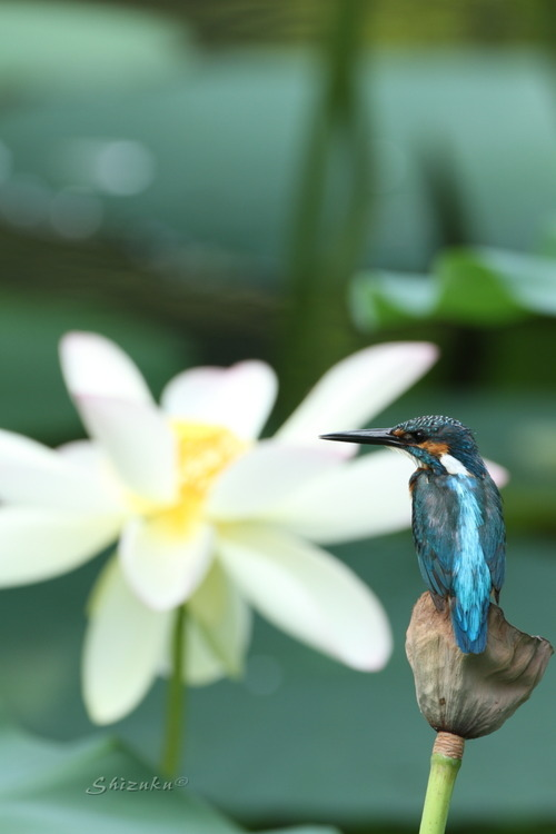 Lotus pond no.6 (6pics) 2013.8.14