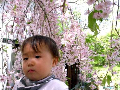 080505蔵王桜