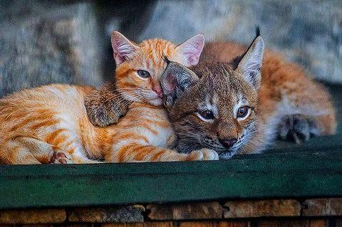 【画像あり】育児放棄されたオオヤマネコを育てる普通のネコ どっちが親かわからないと話題に