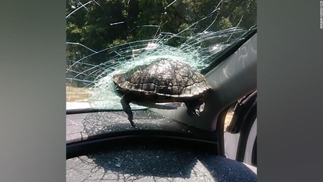 飛んできたカメ、走行車のフロントガラスに突き刺さる 米高速道路