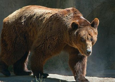 brown_bear1