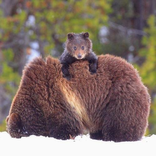 Baby-bear-hanging-on-mom