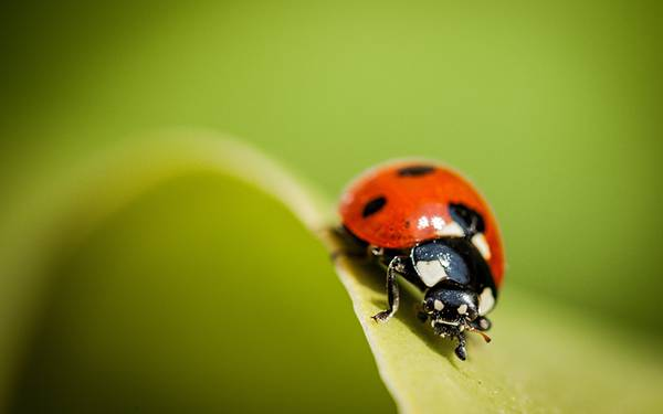 wallpaper-ladybug-photo-01
