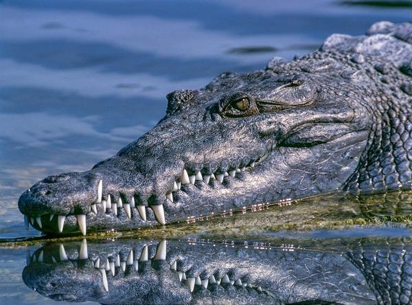 crocodile-1851313_1280