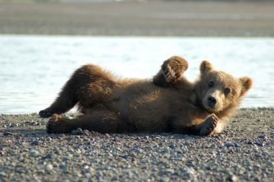 grizzly_bear_cubs