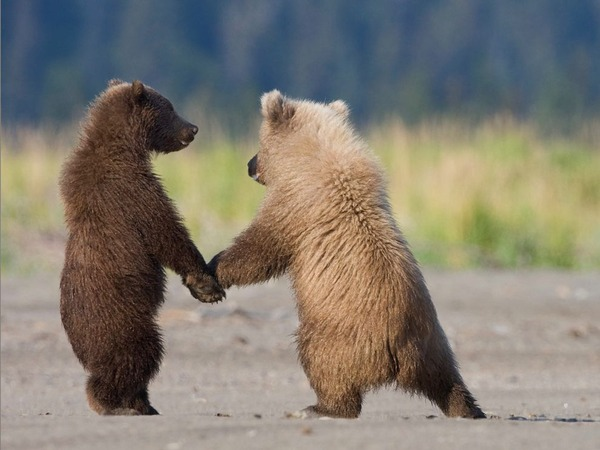 grizzly-bear-cubs_3600_990x742
