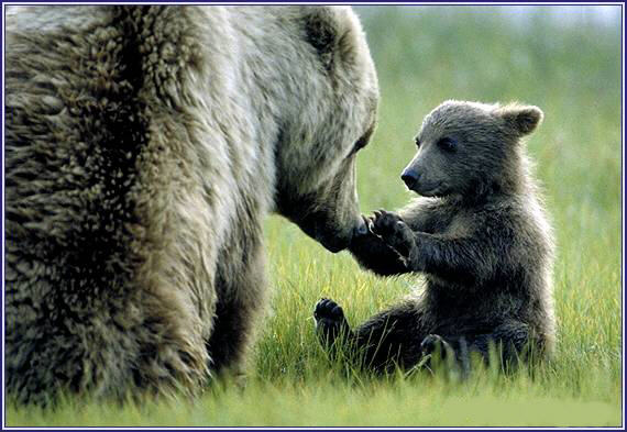 alaskan-brown-bear-cub-and-mother