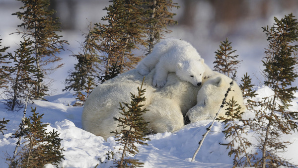 polar-bear-cub-resting-on-mother-manitoba-canada-14147