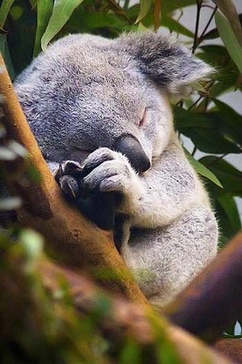 sleeping-baby-koala2