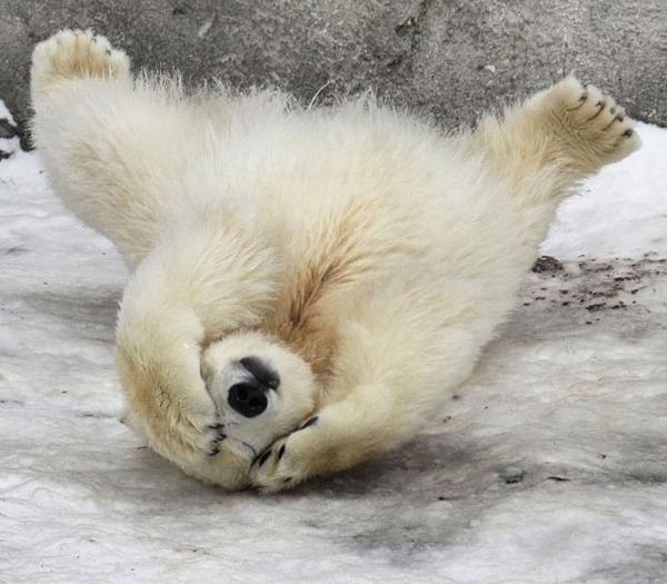 polar-bear-cub_1786691i