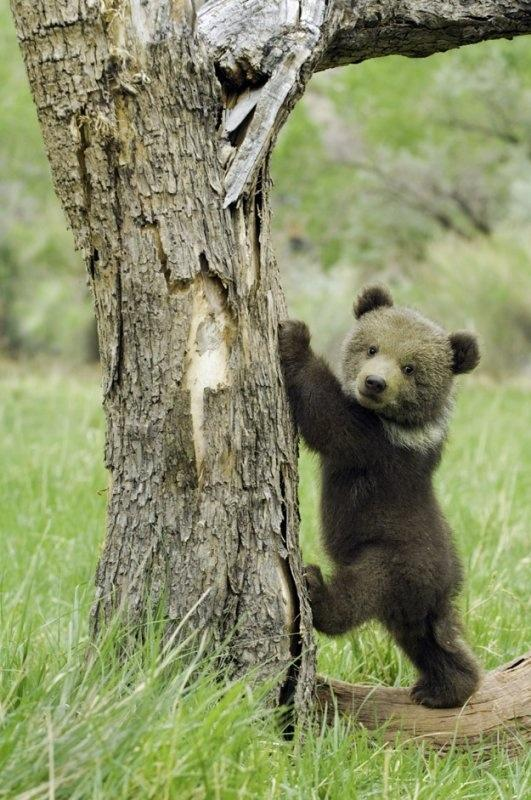 Bear-cub-getting-ready-to-climb