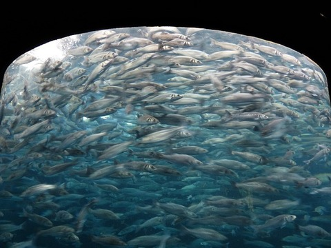 fish-swarm-406569_640