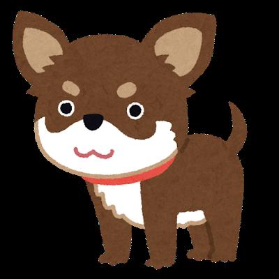 dog_chihuahua_choco_tan
