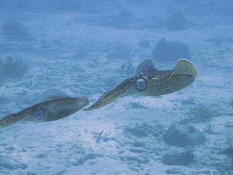 squid-101375_640