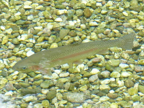 rainbow-trout-117482_640