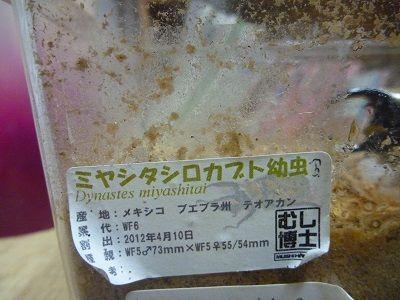 ミヤシタシロカブト (4)